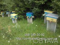 Пчёлы. Пчелопакеты. Пчелиные плодные матки (меченые) карпатка. Молодые, высокопр. Киев, Киевская область. фото 4