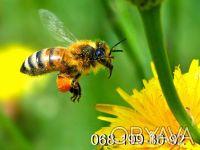 Пчёлы. Пчелопакеты. Пчелиные плодные матки (меченые) карпатка. Молодые, высокопр. Киев, Киевская область. фото 2