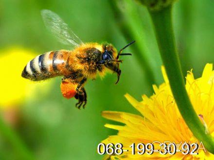 Пчёлы. Пчелопакеты. Пчелиные плодные матки (меченые) карпатка. Молодые, высокопр. Киев, Киевская область. фото 1