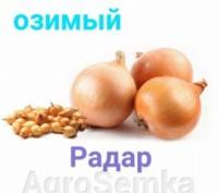 Радар — поздний высокоурожайный сорт озимого лука, достаточно крепкие наружные ч. Киев, Киевская область. фото 2