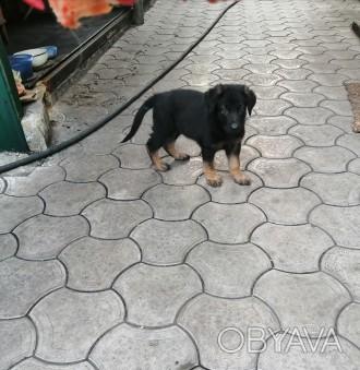 Продам щенка немецкой овчарки. Остался один мальчик. Щенку два месяца. Все вопро. Марьинка, Донецкая область. фото 1