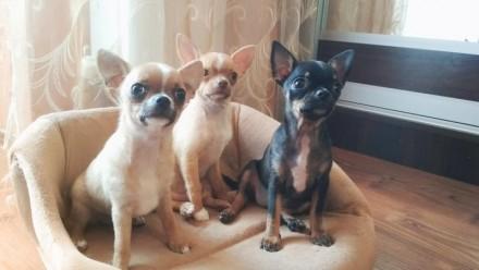 Невероятно красивые чистокровные щеночки гордой породы Чихуахуа.  Родились 21 . Винница, Винницкая область. фото 7