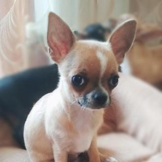 Невероятно красивые чистокровные щеночки гордой породы Чихуахуа.  Родились 21 . Винница, Винницкая область. фото 5