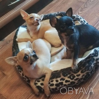 Невероятно красивые чистокровные щеночки гордой породы Чихуахуа.  Родились 21 . Винница, Винницкая область. фото 1