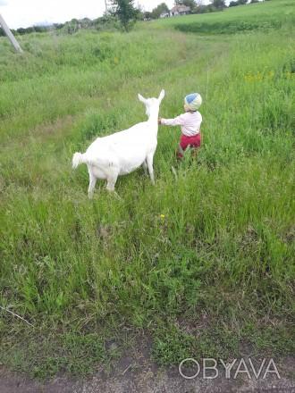 Продам козу зааненку