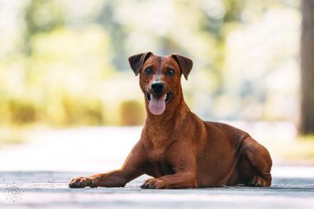 Немецкий пинчер это идеальная собака для активных, уверенных и опытных владельце. Киев, Киевская область. фото 5