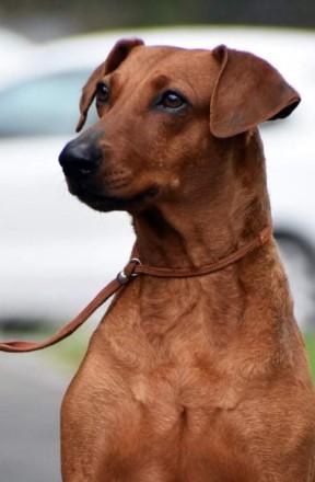 Немецкий пинчер это идеальная собака для активных, уверенных и опытных владельце. Киев, Киевская область. фото 4