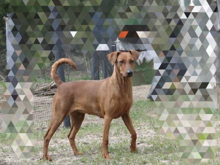 Немецкий пинчер это идеальная собака для активных, уверенных и опытных владельце. Киев, Киевская область. фото 3