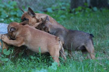 Французский бульдог щенки, образцово вырощенные, привиты полностью, линия саморо. Киев, Киевская область. фото 7