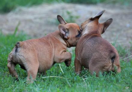 Французский бульдог щенки, образцово вырощенные, привиты полностью, линия саморо. Киев, Киевская область. фото 9