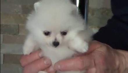 Продаётся щенок, мини мишка, девочка карликовый померанский шпиц, возраст 2 меся. Мариуполь, Донецкая область. фото 5