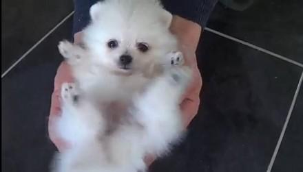Продаётся щенок, мини мишка, девочка карликовый померанский шпиц, возраст 2 меся. Мариуполь, Донецкая область. фото 3