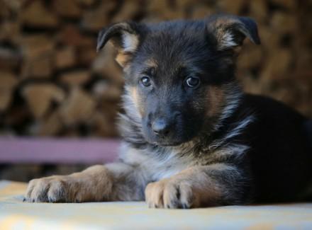 Продается щенок немецкой овчарки (мальчик) от клубных производителей. Дата рожде. Черкассы, Черкасская область. фото 2