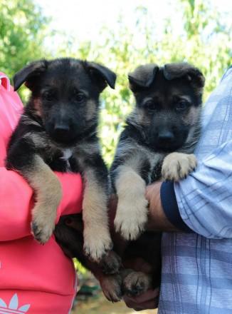 Продается щенок немецкой овчарки (мальчик) от клубных производителей. Дата рожде. Черкассы, Черкасская область. фото 3