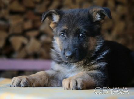 Продается щенок немецкой овчарки (мальчик) от клубных производителей. Дата рожде. Черкассы, Черкасская область. фото 1
