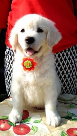 `От Бахур` предлагает потрясающих щенков золотистого ретривера от прекрасных и г. Киев, Киевская область. фото 3