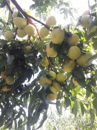 Продам саджанці персика