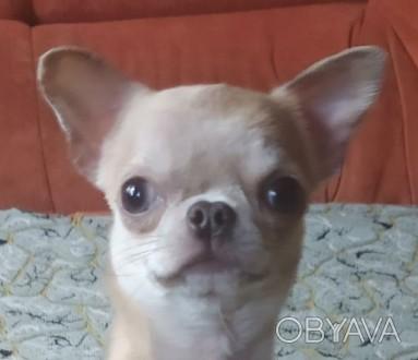 Продается замечательная собачка. Подрощеный щенок чихуахуа. Мальчик. Вес 1800 , . Кропивницкий, Кировоградская область. фото 1