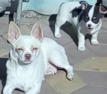 Последний щенок- девочка чихуахуа 2  мес. Глисты прогнаны. Прививка по возрасту.. Кропивницкий, Кировоградская область. фото 5