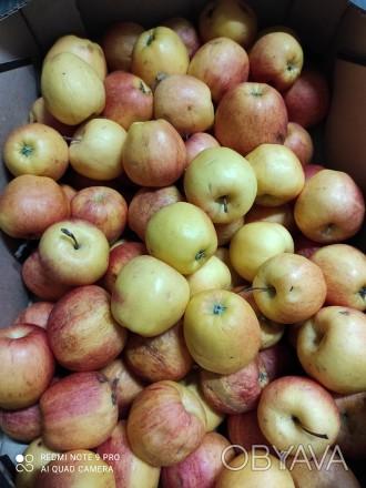 Продам яблука оптом. Сорт Гала Селеста