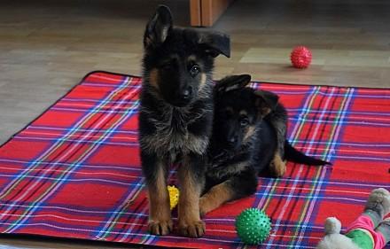 Если Вы хотите приобрести щенка немецкой овчарки, верного друга, защитника, охра. Одесса, Одесская область. фото 6