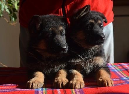 Если Вы хотите приобрести щенка немецкой овчарки, верного друга, защитника, охра. Одесса, Одесская область. фото 5