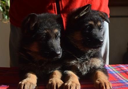 Если Вы хотите приобрести щенка немецкой овчарки, верного друга, защитника, охра. Одесса, Одесская область. фото 4