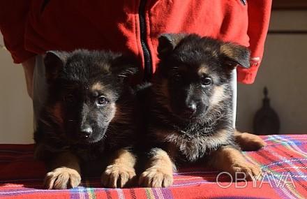 Если Вы хотите приобрести щенка немецкой овчарки, верного друга, защитника, охра. Одесса, Одесская область. фото 1