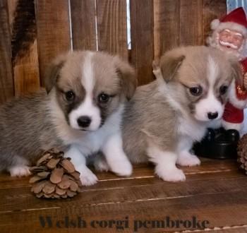 Вельш корги пемброк (Welsh Corgi Pembrok) - удивительная собака ! Щенки открыты. Киев, Киевская область. фото 5