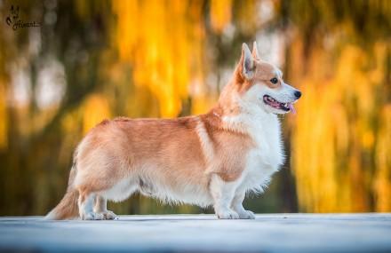 Вельш корги пемброк (Welsh Corgi Pembrok) - удивительная собака ! Щенки открыты. Киев, Киевская область. фото 11