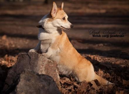 Вельш корги пемброк (Welsh Corgi Pembrok) - удивительная собака ! Щенки открыты. Киев, Киевская область. фото 9
