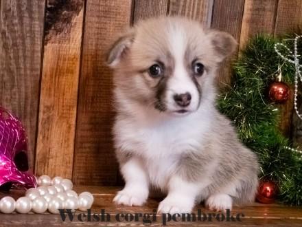 Вельш корги пемброк (Welsh Corgi Pembrok) - удивительная собака ! Щенки открыты. Киев, Киевская область. фото 4