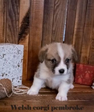 Вельш корги пемброк (Welsh Corgi Pembrok) - удивительная собака ! Щенки открыты. Киев, Киевская область. фото 6