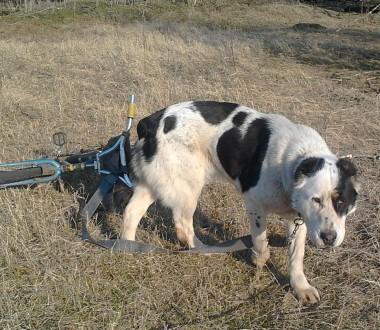 Продам суку 4 года ,алабай ,щенилась один раз ,в хорошей форме ,здорова ,привита. Магдалиновка, Днепропетровская область. фото 4