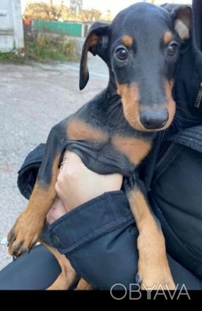 Продаются щенки добермана.   На каждого оформлен ветеринарный паспорт.  Щенка. Житомир, Житомирская область. фото 1