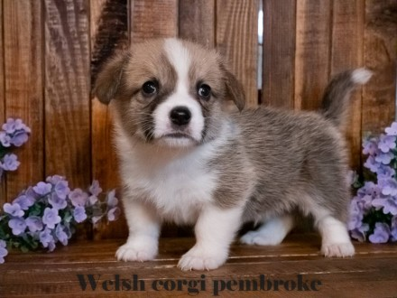Вельш корги пемброк (Welsh Corgi Pembrok) - удивительная собака !  25.11.2020 . Киев, Киевская область. фото 2