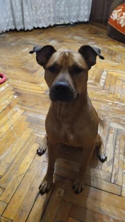 Отдадим в добрые руки! Стаффордширский бультерьер. Эльза, 3 года. Собака ласко. Днепр, Днепропетровская область. фото 2