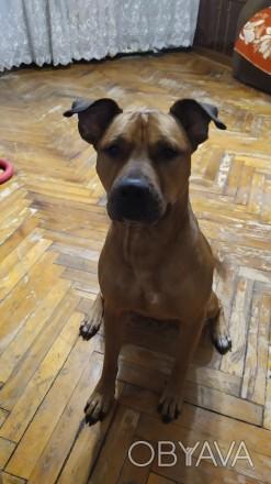 Отдадим в добрые руки! Стаффордширский бультерьер. Эльза, 3 года. Собака ласко. Днепр, Днепропетровская область. фото 1
