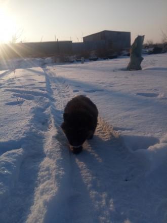 •Немецкие овчарки •. Бердянск, Запорожская область. фото 5