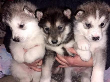 Продам щенков породы Аляскинский маламут есть двочки и мальчики . Цвет от светло. Сумы, Сумская область. фото 3