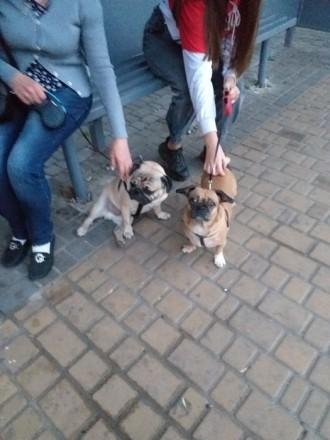 Продаётся 5 щенков  2 малчика 3 девочки . Родились 28 ноября. Снимают усталость,. Одесса, Одесская область. фото 4