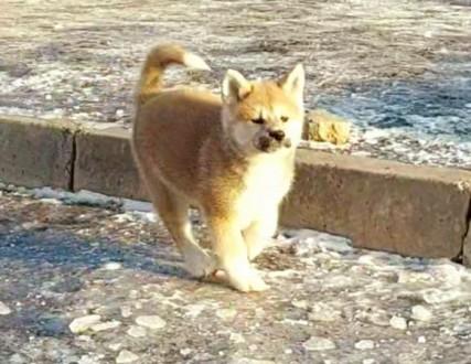 Акиты очень хорошо ладят с людьми  ,особенно маленькие щеночки. Эти собаки очень. Сумы, Сумская область. фото 4
