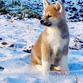 Акиты очень хорошо ладят с людьми  ,особенно маленькие щеночки. Эти собаки очень. Сумы, Сумская область. фото 1