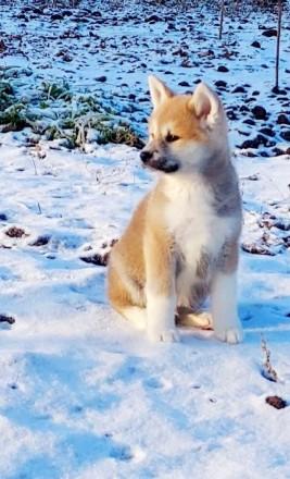 Продаются породные щенки японской акиты ину. Есть на выбор мальчики и девочки пр. Сумы, Сумская область. фото 2