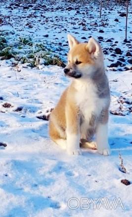 Продаются породные щенки японской акиты ину. Есть на выбор мальчики и девочки пр. Сумы, Сумская область. фото 1