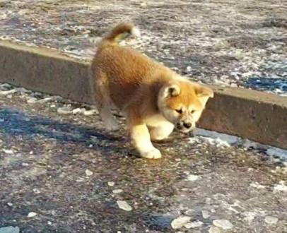 Японская Акита одна из древнейших пород собак. Предлагаем Вам очень умных, милых. Сумы, Сумская область. фото 3