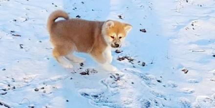 Японская Акита одна из древнейших пород собак. Предлагаем Вам очень умных, милых. Сумы, Сумская область. фото 4