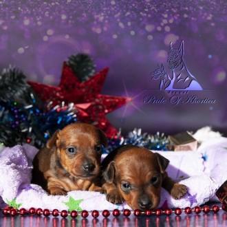 На данный момент есть свободные щенки рыжего и черно-подпалого окрасов,цены разн. Запорожье, Запорожская область. фото 5