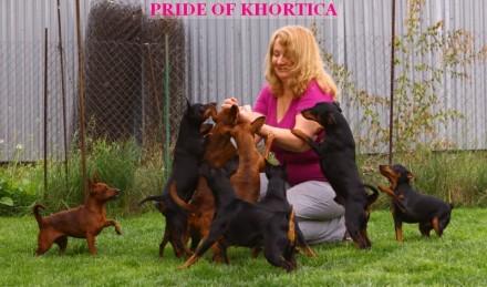 На данный момент есть свободные щенки рыжего и черно-подпалого окрасов,цены разн. Запорожье, Запорожская область. фото 10