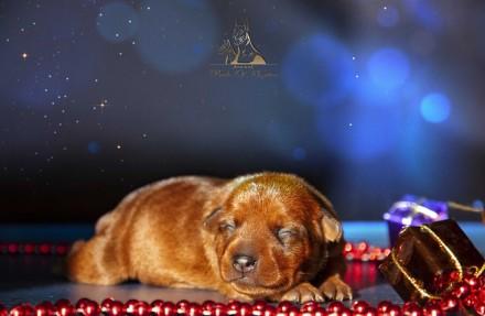 На данный момент есть свободные щенки рыжего и черно-подпалого окрасов,цены разн. Запорожье, Запорожская область. фото 4